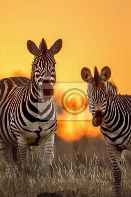 Ebenen Zebra im Krüger Nationalpark, Südafrika