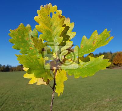 Eichenzweig Herbst Eichenblaetter Quercus Robur Fototapete