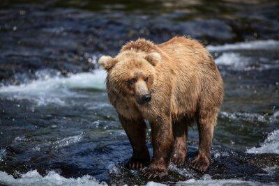 Fototapete Ein alaskisches Braun sucht Lachse in den Riffeln von Brooks River.