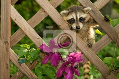 Ein Baby Waschbär Klettern Im Garten Fototapete Fototapeten
