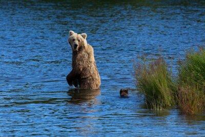 Fototapete Ein brauner Braunbär schaut zurück, um auf ihren Jungen zu überprüfen, wenn er Brooks Fluss, Katmai Nationalpark, Alaska kreuzt