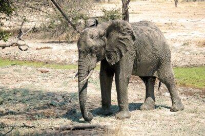 Fototapete Ein Elefant in der Savanne - Tansania - Afrika