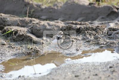 Ein Flussregenpfeifer leben auf einer Baustelle
