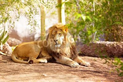 Fototapete Ein großer afrikanischer Löwe, der in einem Dschungel-Setting auf den Boden gelegt wird