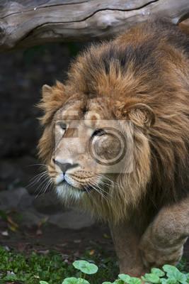 Fototapete Ein Kriechender Asiatischer Löwe Auf Waldrückseite. Die Größte  Katze Und Eine Der Schönsten Tiere