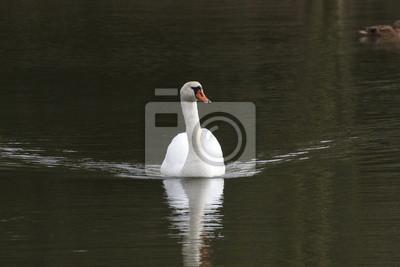 Ein weißer Schwan auf dem Wasser, hohe Wellen