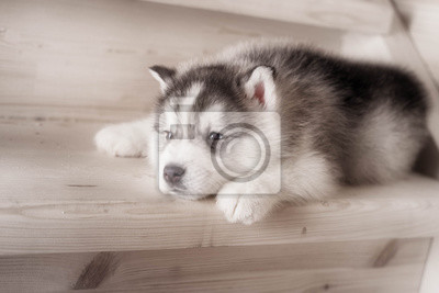 Ein Welpenhund Von Siberian Husky Rasse Auf Holzboden Fototapete