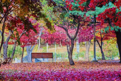 Fototapete Eine Bank in einem Park mit vielen Blättern des Rotahornbaums. Friedlicher Ort.