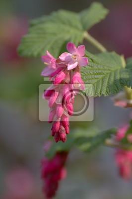 Eine Blüte der roten Johannisbeere-Blüte (Ribes sanguineum)