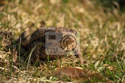 Eine Erdkröte auf Gras
