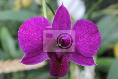 Eine Orchidee Dendrobium
