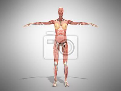 Eine weibliche körper anatomie für bücher 3d render auf grau ...