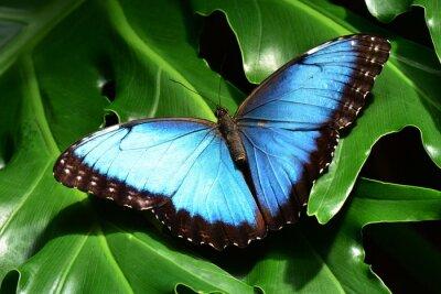 Fototapete Einem hübschen blauen Morpho-Schmetterling landet in den Schmetterlingsgarten.