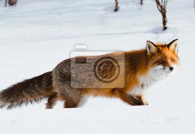 Einsamer Fuchs Der Auf Schnee Im Winter Geht Fototapete