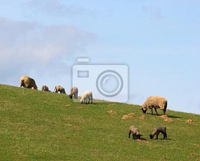 Einzelne Schafe weiden auf einer Wiese