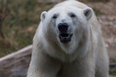 Fototapete Eisbär