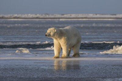 Fototapete Eisbär, der Sachen heraus überprüft