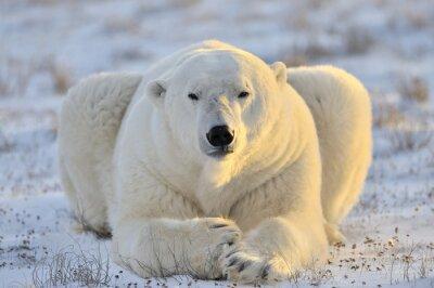 Fototapete Eisbär liegend auf Tundra.