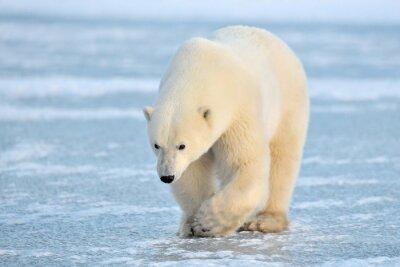 Fototapete Eisbär zu Fuß auf blauem Eis.