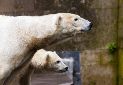 Fototapete Eisbären schauen