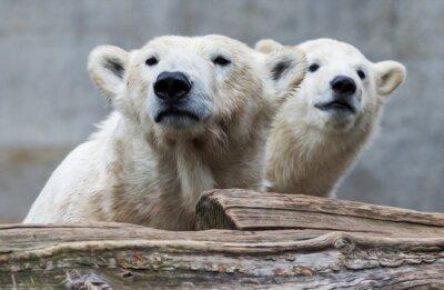 Fototapete Eisbärenfamilie