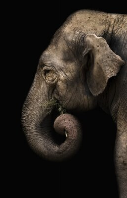 Fototapete Elefant