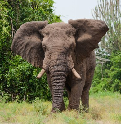 Fototapete Elefanten in der Savanne. Schießen aus Heißluftballon. Afrika. Kenia. Tansania. Serengeti Maasai Mara. Eine ausgezeichnete Illustration.