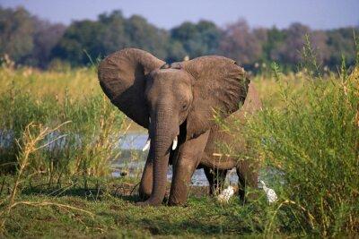Fototapete Elefanten stehen auf dem Gras in der Nähe des Flusses Sambesi. Sambia. Unteren Zambezi Nationalpark. Zambezi River. Eine ausgezeichnete Illustration.