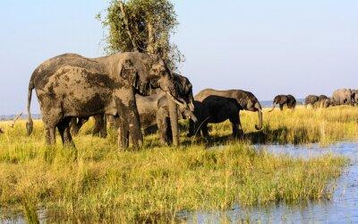 Fototapete Elefanten trinken aus dem Chobe Fluss