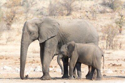 Fototapete Elefantenkuh und Calw in Namibia