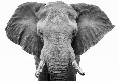 Fototapete Elephant head shot black and white