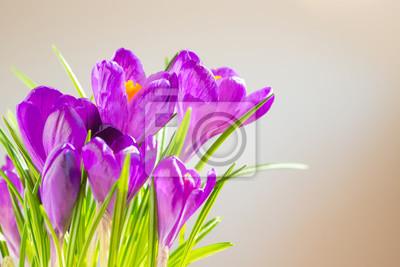 Erste Fruhlingsblumen Bouquet Von Lila Krokusse Fototapete