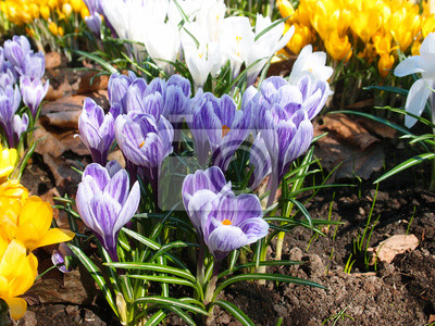 Erste Fruhlingsblumen Bunte Safran Gelbe Lila Und Weisse Krokusse
