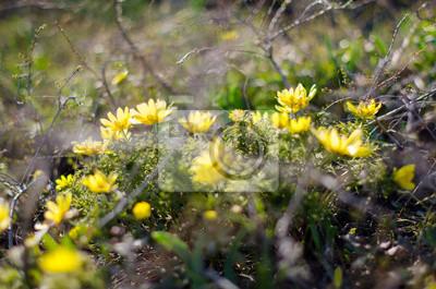 Erste Fruhlingsblumen Gelbe Schneeglockchen Fototapete