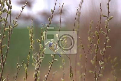 Eurasischen Blaumeise knabbert an Weidenkätzchen