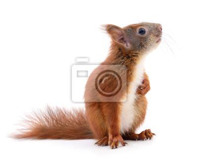 Fototapete Eurasischen roten Eichhörnchen.