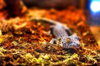 Fototapete Exotisches Tier tokay Geckoeidechse