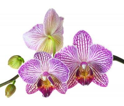 Fototapete Extreme Depth of Field Foto von einem Drei Orchidee Blüten
