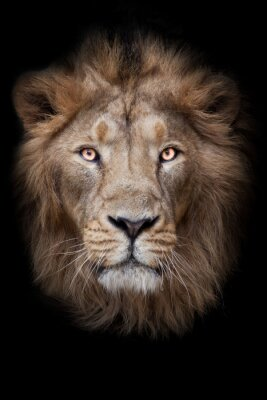 Fototapete face of a lion male lion full screen black red mane serious look
