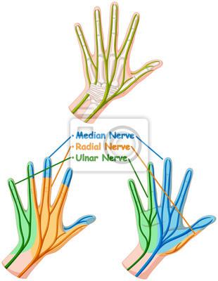 Farbdiagramm zeigt handnerven fototapete • fototapeten dass ...