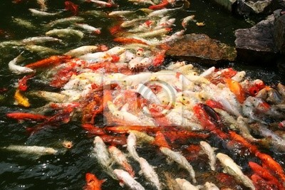 farbenfrohen orientalischen fische, koi, bei der Fütterung