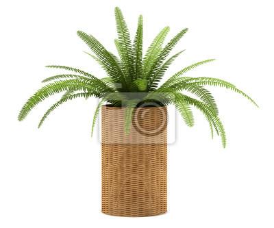 Farn Pflanze Im Topf Auf Weissem Hintergrund Fototapete Fototapeten