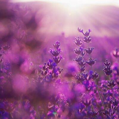 Fototapete Feld Lavendelblüten