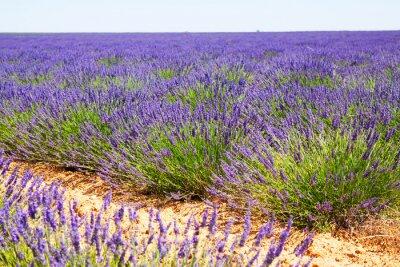 Fototapete Feld mit Pflanze aus blauem Lavendel