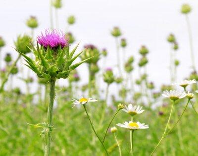 Fototapete Feld mit Silybum marianum (Milk Thistle), Medizinische Pflanzen.