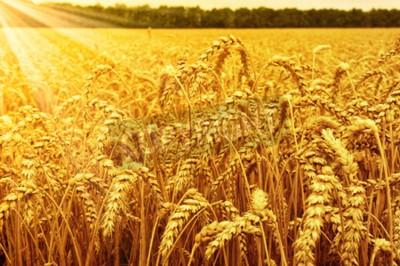 Fototapete Feld von Weizen und Sonne