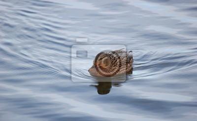 Female mallard duck swimming in water