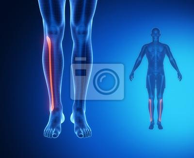 Fibula knochenanatomie x-ray-scan fototapete • fototapeten shinbone ...