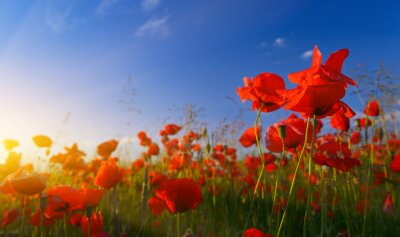 Fototapete Field of poppies at sunrise
