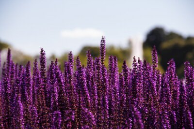Fototapete Field of purple flowers